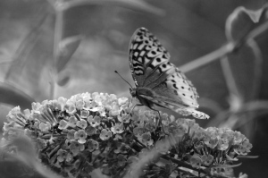 image of a butterfly in black and white